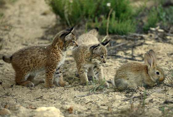The first Iberian lynx infected by the pseudorabies virus