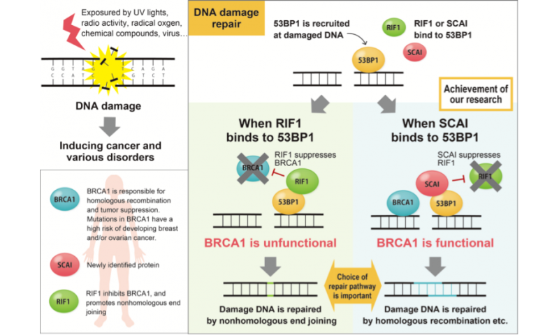 The fork in the road to DNA repair