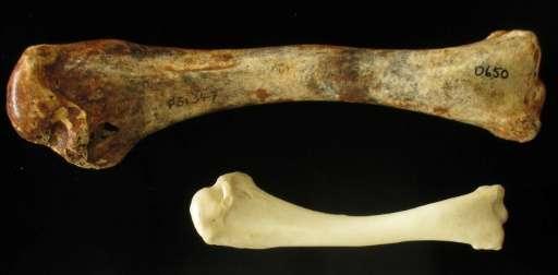 L'os fossilisé d'une dinde volante géante (en haut) par rapport à celle d'une dinde régulière (en bas). Les oiseaux mégapodes vivaient