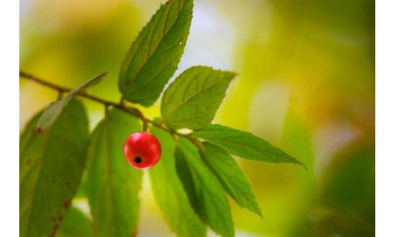 The Jamaica cherry that fights infections