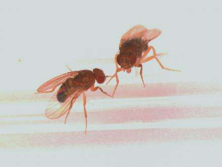 The laws of attraction: Pheromones don't lie, fruit fly research suggests