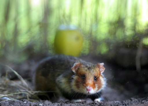 The major consumption of corn leads to infanticide among the Great hamster, a rodent threatened in Alsace, according to a recent