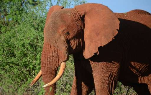 The number of illegally killed elephants has dramatically risen