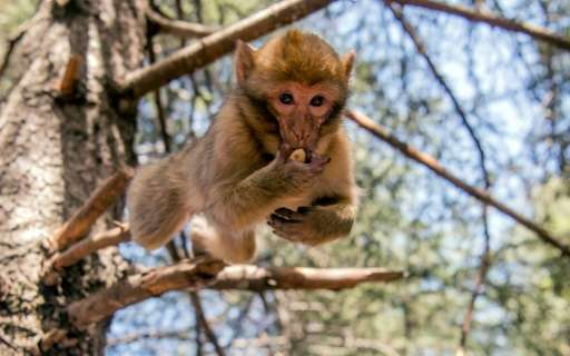 The only specias of macaque outside Asia, the Barbary macaque lives on leaves and fruits and can weigh up to 20 kilogrammes (45