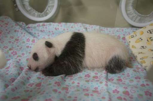 The rare birth delighted animal lovers and businesses keen to cash in on theexcitement that the panda generated