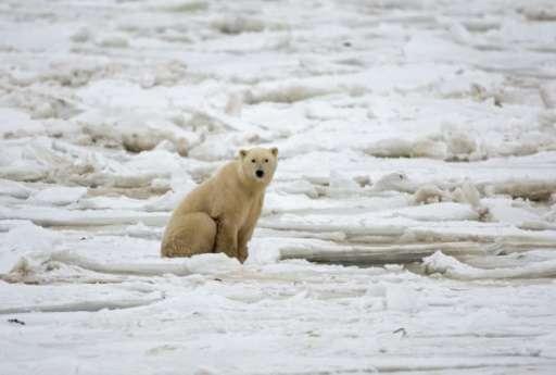 There's good news and bad news for polar bears