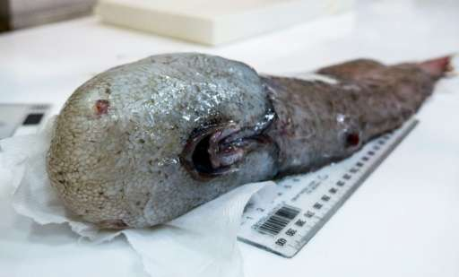 The scientists came across an unusual faceless fish, which has only been recorded once before by the pioneering  crew of HMS Cha