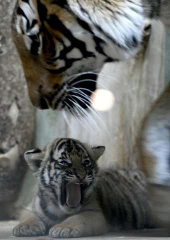 The six-week-old Malayan tiger cubs, who have yet to be named by their breeders, were born to Banya and Johann