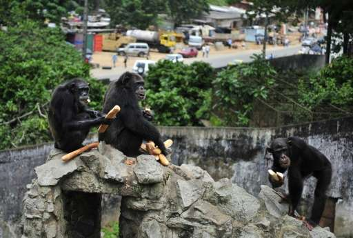 The Wild Chimpanzee Foundation, which works to safeguard chimpanzees in west Africa, says less than 2,000 chimpanzees are left i