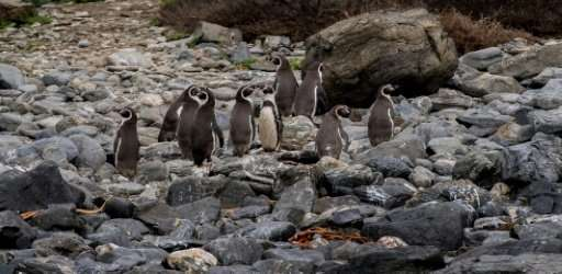 They may be less than a meter tall but they have conquered a Goliath: Chile's vulnerable Humboldt penguins have thwarted—for now