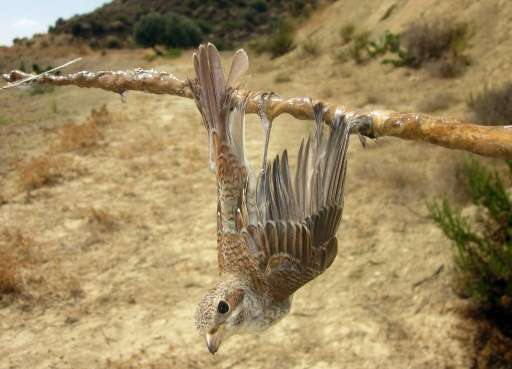 This 2013 photo by RSPB and Birdlife Cyprus shows a Red-backed Shrike (Lanius collurio) caught on a limestick