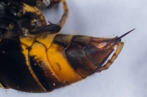 Asian giant hornet stings