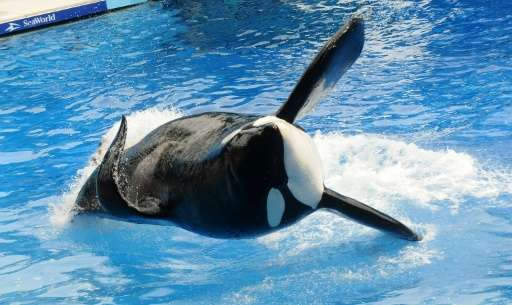"""Tilikum, an orca whale made famous by the US documentary """"Blackfish"""", died at the age of 36 on January 6, 2017"""