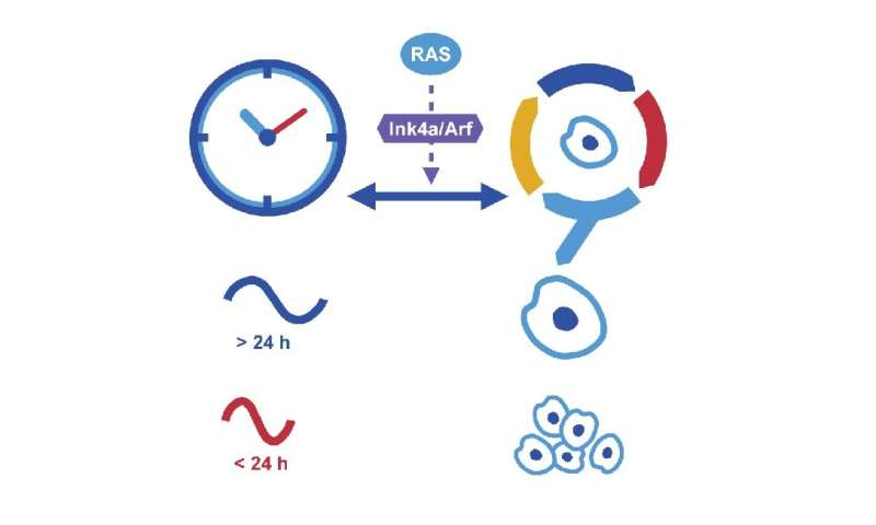 Time matters: Does our biological clock keep cancer at bay?