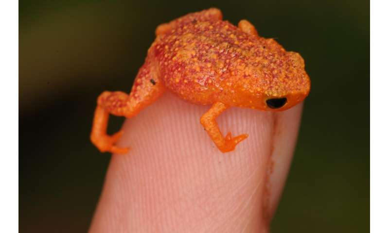 Tiny Brazilian frogs are deaf to their own calls