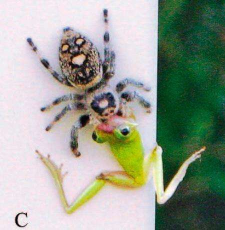 Tiny jumping spiders found preying on frogs and lizards