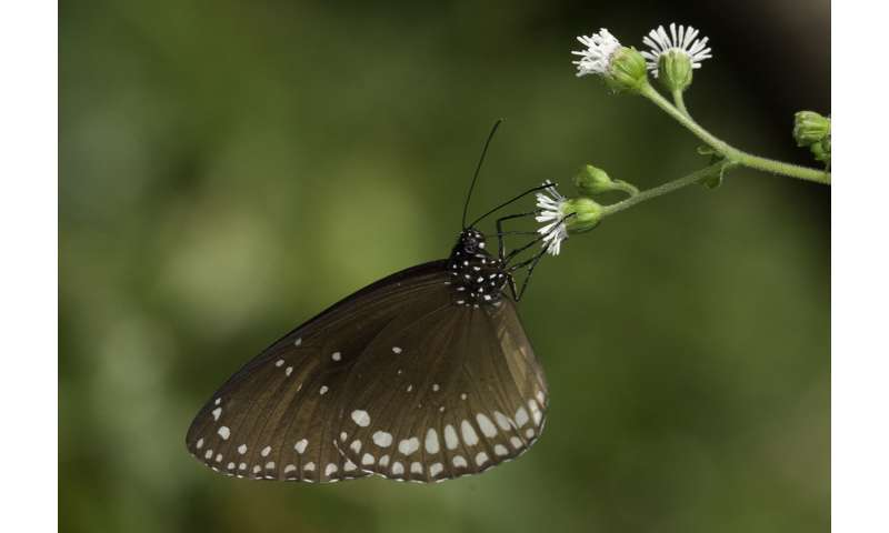 To breed or not to breed? Migratory female butterflies face a monsoonal dilemma