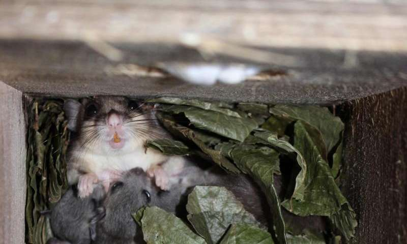 To ensure constant food supply, edible dormice give up their favourite food