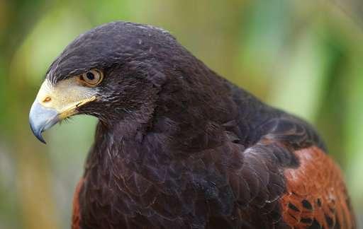Trained Hawks Scare Off Smaller Birds Draw Stares In La