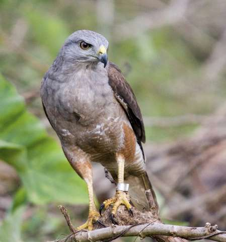 Translocated hawks thrive in Hispaniola