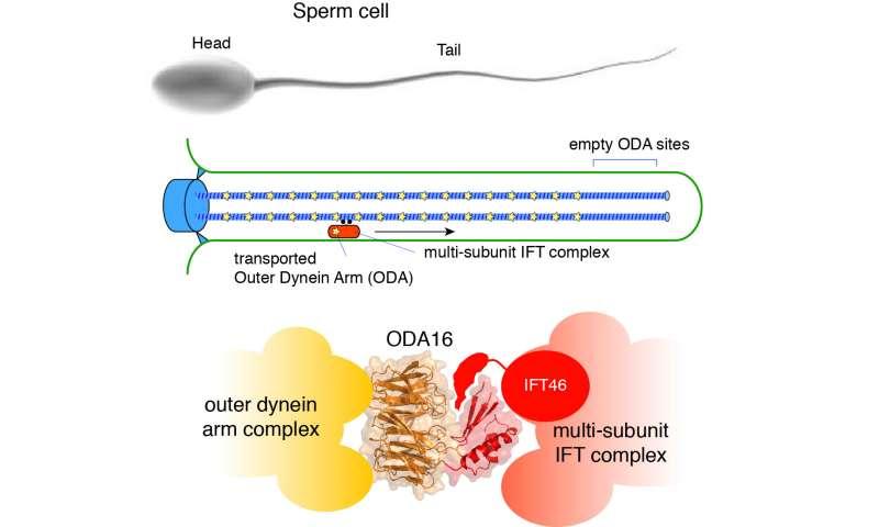 Transport of molecular motors into cilia