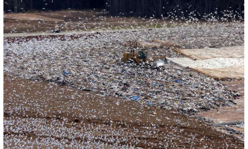 Trash-picking seagulls poop tons of nutrients