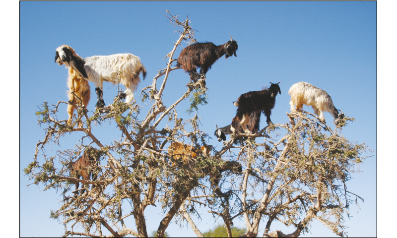 Tree-climbing goats disperse seeds by spitting