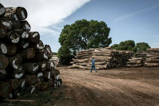 Tropical forests cover more than half of Mozambique's land mass but China's insatiable appetite for rare woods to feed its furni