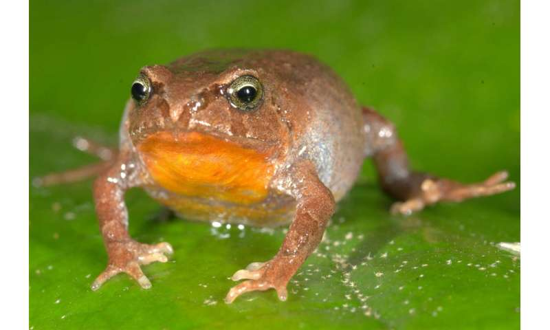 Tropical lowland frogs at greater risk from climate warming than high-elevation species, study shows
