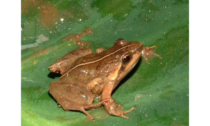 Twenty-five frogs added to the amphibian fauna of Mount Oku, Cameroon
