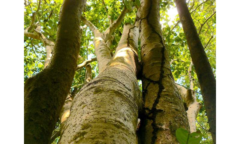 Two 'bird-catcher trees' from Puerto Rico