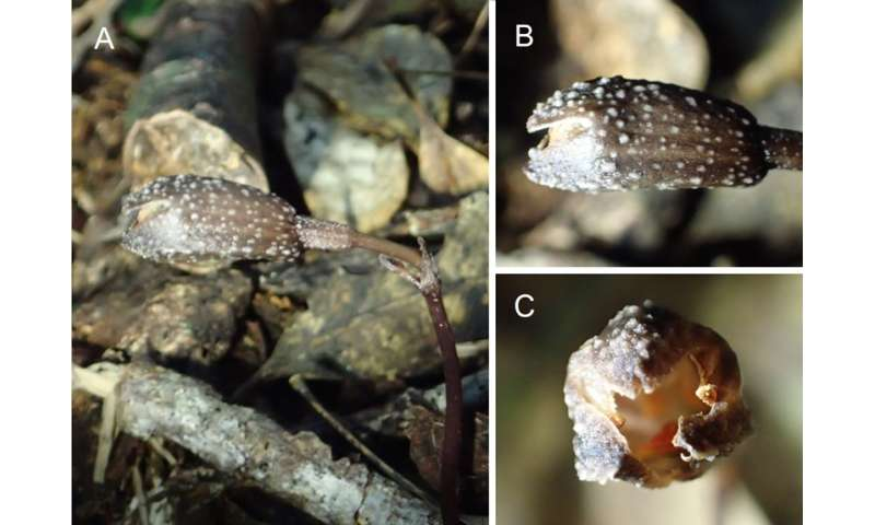 Two new species of orchids discovered in Japan