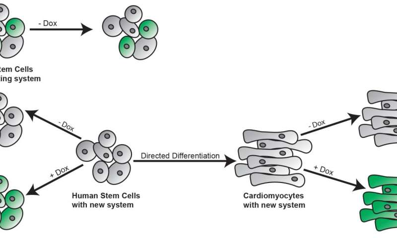 Two-part system turns stem cells into whatever you want