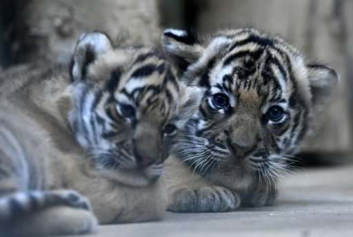 Two six-weeks-old Malayan tiger cubs were born on October 3, 2017 at the Prague zoo