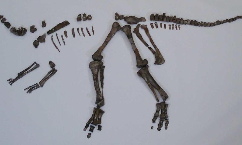 Démêler les mystères de Nipponosaurus