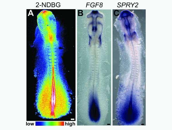Unusual metabolic activity illuminates embryonic development, cancer