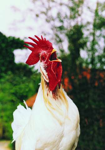 Using rooster testes to learn how the body fights viruses