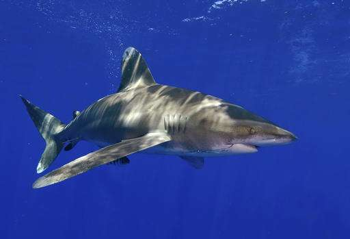 US: Oceanic whitetip shark warrants 'threatened' listing