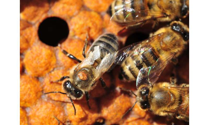 Varroa mites -- bees' archenemies -- have genetic holes in their armor
