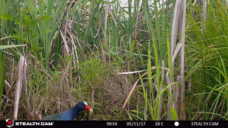 Video: Purple gallinule sighted for first time on Oak Ridge Reservation