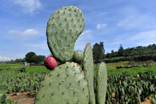 Mexicos Prickly Pear Cactus Energy Source Of The Future
