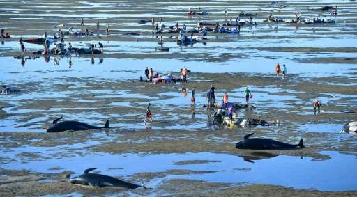 Volunteers pour water over the stranded Pilot whales during a mass stranding at Farewell Spit on February 11, 2017