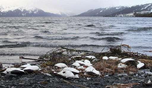 Warm ocean water triggered vast seabird die-off, experts say