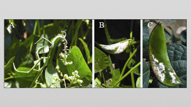 Web-based tool helps lima bean growers assess downy mildew risk