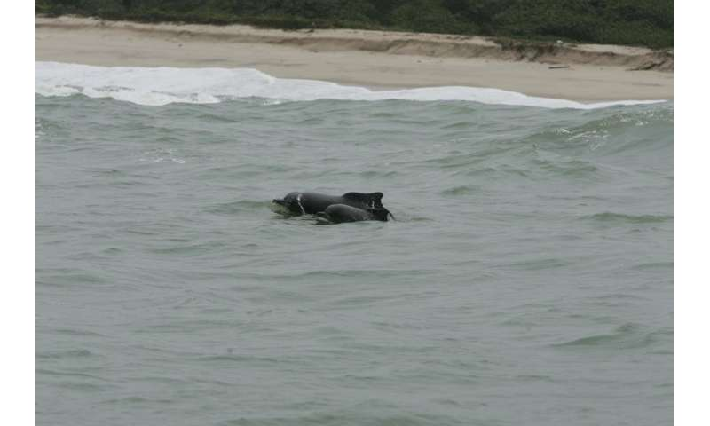 West African dolphin now listed as one of Africa's rarest mammals