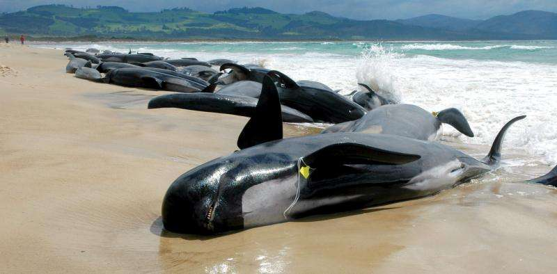 What causes whale massstrandings?