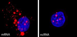 What happens to gene transcription during DNA damage?