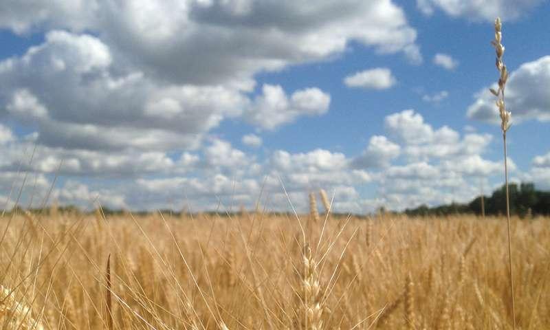Wheat virus crosses over, harms native grasses