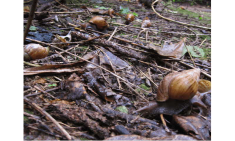 Who's afraid of the giant African land snail? Perhaps we shouldn't be