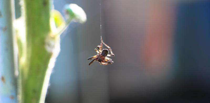 Why abseiling spiders don't spin out of control – new research